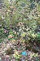 Cornus sessilis - Regional Parks Botanic Garden, Berkeley, CA - DSC04288.JPG