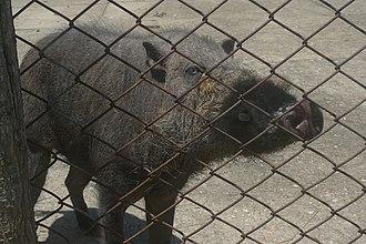 Palawan bearded pig - Image: Coron Calauit Wild Pig