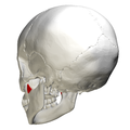 Coronoid process of mandible - lateral view2.png