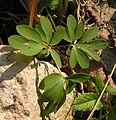 Corydalis solida20090505 03.jpg