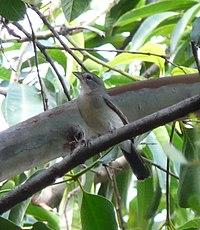 Coryphospingus pileatus