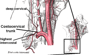 Deep cervical artery artery of the neck