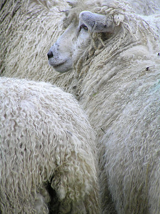 Cotswold sheep - A flock of Cotswolds