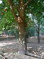 Couroupita guianensis Aubl. (2095667668).jpg