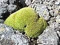 Coussin d'Azorella selago sur l'île de la Possession (Crozet).jpg