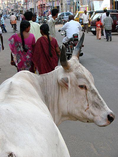 Indisk ko