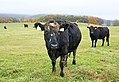 Cows and fall color, Sky Meadows State Park, Delaplane, Virginia (38171725902).jpg