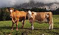 Cows on Ehrwalder Alm 4.jpg