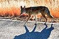Coyote & Shadow (5291014364).jpg