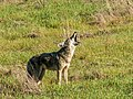 Coyote Yelping on the Hill (31705683025).jpg