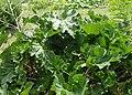 Crambe cordifolia kz03.jpg