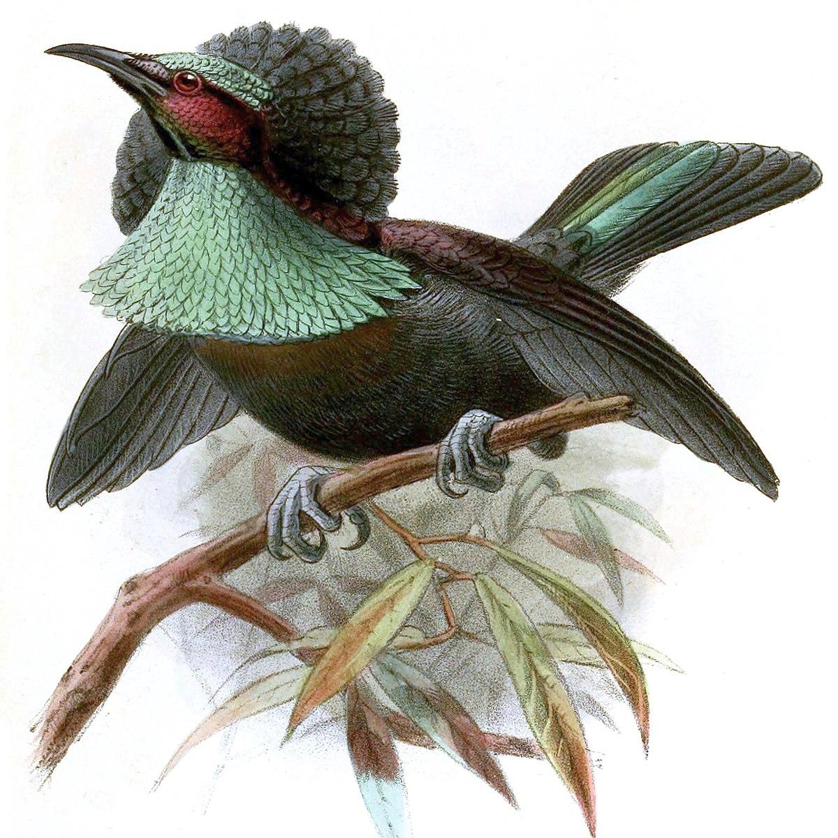 Ptiloris intercedens