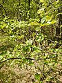 Crataegus monogyna (Rosaceae) 01.jpg