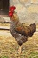 Croatia-00677 - Rooster (9373133406).jpg