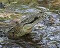 Crocodylus acutus out.jpg