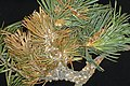 Cronartium ribicola Pinus flexilis needles (04).jpg