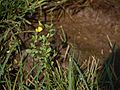 Crotalaria ¿ species ? (5634627916).jpg