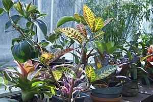 Euphorbiaceae - Croton cultivar 'Petra'.