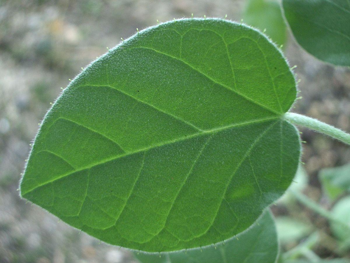 Limbo foliar - Wikipedia, la enciclopedia libre