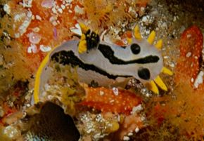 Description de l'image Crowned polycera capensis.jpg.