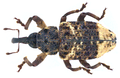 Cryptorhynchus lapathi (Linné, 1758) (10381974866).png
