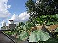 """Cucurbita maxima """"zapallo plomo"""" (Costanzi temp2) hojas plasmolizadas por corte de comunicación con la raíz y Cucurbita argyrosperma """"calabaza rayada o cordobesa"""" (Florensa) a la derecha.JPG"""