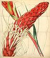 Curtis's Botanical Magazine, Plate 4309 (Volume 73, 1847).jpg