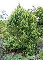 Curtisia dentata - small Assegai tree - Table Mountain 4.JPG