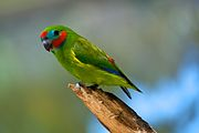Green parrot with red cheeks and brow, and blue temples