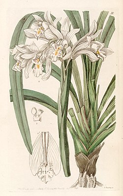 Cymbidium mastersii - Edwards vol 31 (NS 8) pl 50 (1845).jpg