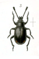 Cymones helopioides.png