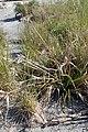 Cyperus ustulatus kz02.jpg