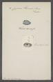 Cypraea hirundo - - Print - Iconographia Zoologica - Special Collections University of Amsterdam - UBAINV0274 088 02 0056.tif