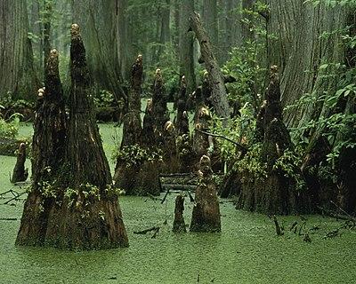 Cypress knees (6845386236).jpg