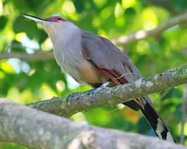 DRbirds Hispaniolan-Lizard Cuckoo 1c.jpg