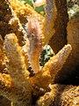 DSC28096, Zebrasnout Seahorse, Monterey Bay Aquarium, Monterey, California, USA (6920274622).jpg