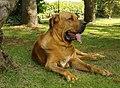 DYLAN-Fila-Brasileiro-dog-7974499964.jpg