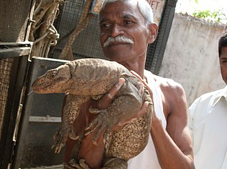 Monitor lizard - Injured Bengal monitor being nursed at the Lok Biradari Prakalp in India