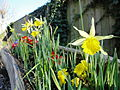 Daffodils along Niton Castlehaven Road.JPG