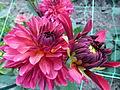 Dahlia concours international 2012 Parc Floral 17.JPG
