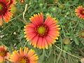 Daisy - ഡെയ്സി 06.JPG