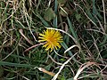 Dandelion by the coast path - geograph.org.uk - 1168909.jpg