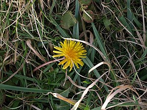 English: Dandelion by the coast path Dandelion...