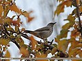 Dark-throated Thrush (Turdus ruficollis) (15707343508).jpg