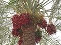 Date Palm - ഈന്തപ്പന 01.JPG