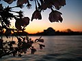 Dawn at the Tidal Basin to see the Blossoms - panoramio.jpg