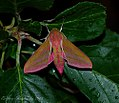 Deilephila elpenor - 2.jpg