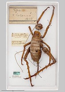 <i>Deinacrida heteracantha</i> species of insect