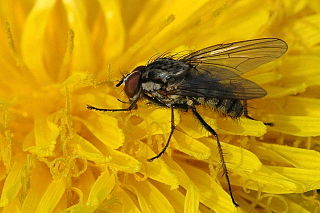 <i>Delia</i> (fly) genus of insects