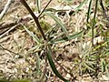 Delphinium nuttallianum 15502.JPG